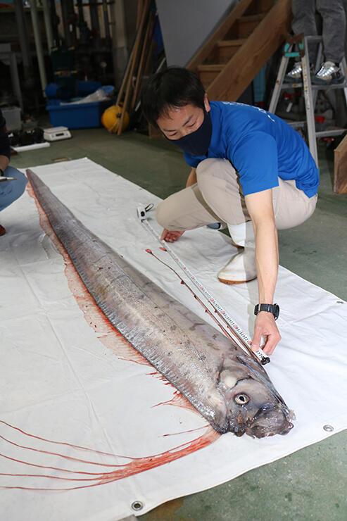 今年初めて富山湾で捕獲されたリュウグウノツカイ