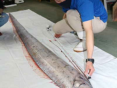 富山湾で今年初リュウグウノツカイ 魚津水族館で6、7日展示