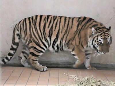 アムールトラ「和」雌・1歳 長野市茶臼山動物園に仲間入り