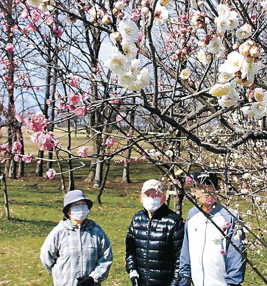 紅白の花を咲かせる1本のウメ=小松市の木場潟公園