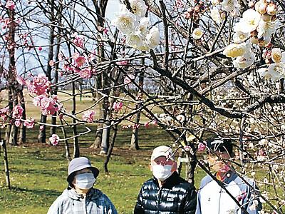 紅白の梅、源平咲き 小松・木場潟公園