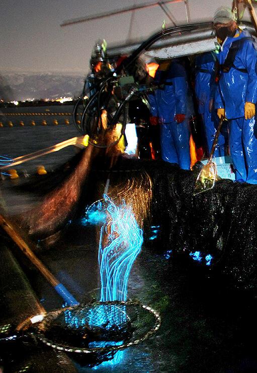 青白い光を放つホタルイカ=1日、滑川沖