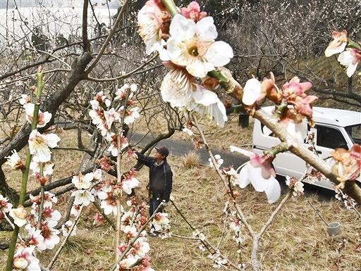見頃を迎えた梅の花=3月6日、福井県若狭町成出