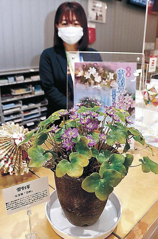展示された雪割草=金沢駅の県金沢観光情報センター