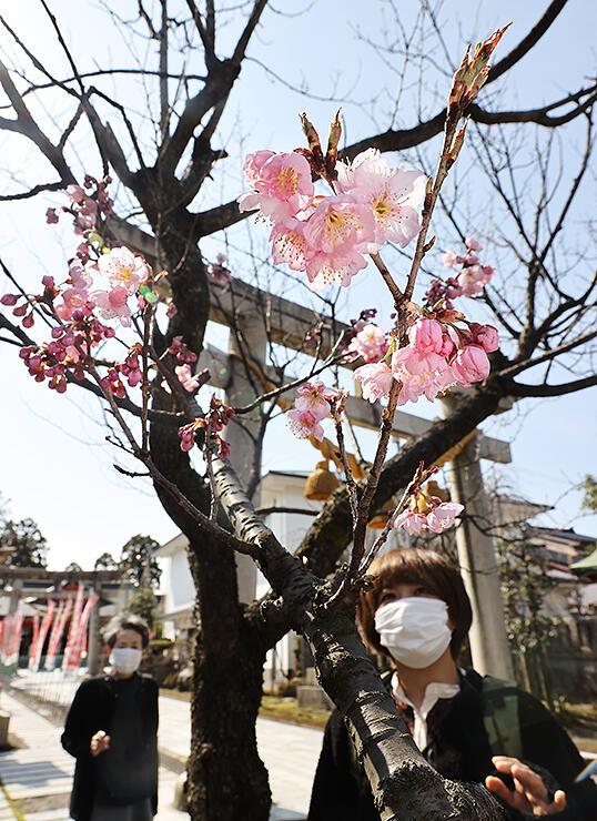 柔らかな日差しを受けて咲くツバキカンザクラ=越中稲荷神社