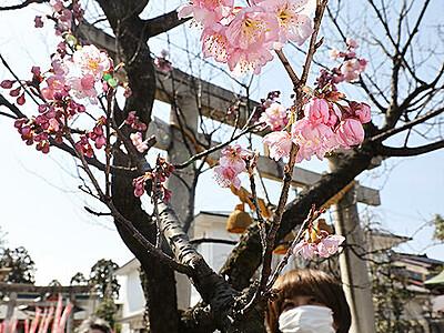 青空彩る早咲き桜 富山の越中稲荷神社