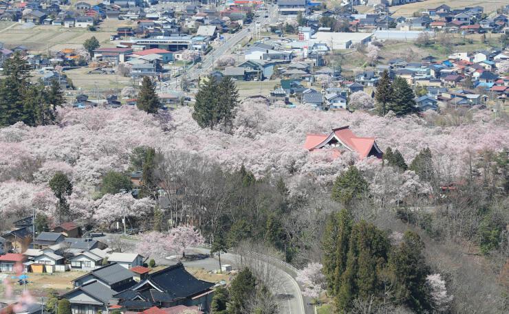 満開となった高遠城址公園のタカトオコヒガンザクラ=昨年4月9日