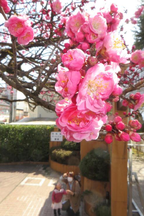 飯田市立動物園の入り口で鮮やかに咲いた「飯田城の紅梅」=11日午前10時45分