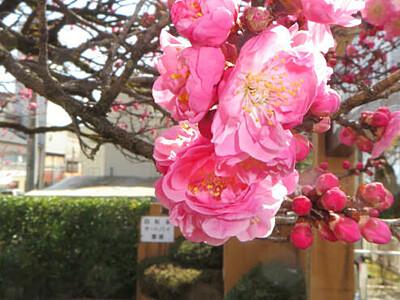 咲き誇る「飯田城の紅梅」 飯田市立動物園入り口