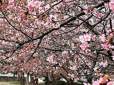 春色 一足早く 富山でカワヅザクラ見頃