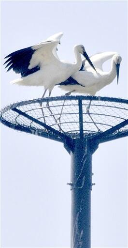 人工巣塔で羽を休めるコウノトリの雌(右)と雄=3月15日、福井県小浜市旧国富小