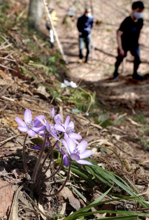 かれんな姿で咲き、春の訪れを告げる雪割草=13日、長岡市宮本町3の雪国植物園