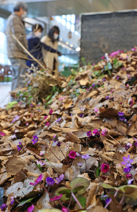 さまざまな色や形の雪割草が並ぶ「えちご雪割草街道」=長岡市宮本東方町の国営越後丘陵公園