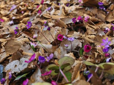 「春の妖精」雪割草 スタンプラリーで堪能 長岡、柏崎
