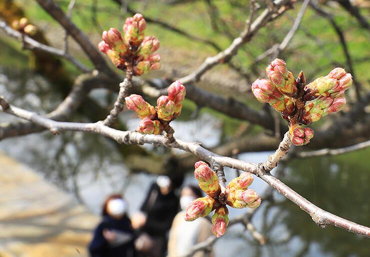 ピンク色の花びらをのぞかせたソメイヨシノのつぼみ=富山市新桜町の松川べり