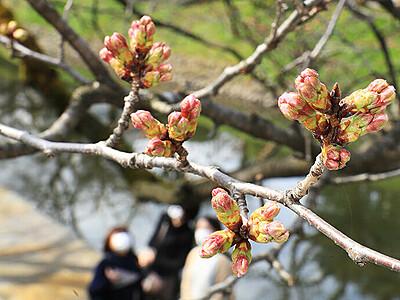 松川べり 桜のつぼみ膨らむ