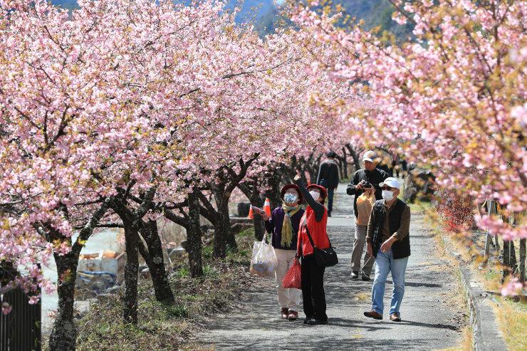 見頃となり咲き誇る河津桜=17日、飯田市南信濃和田