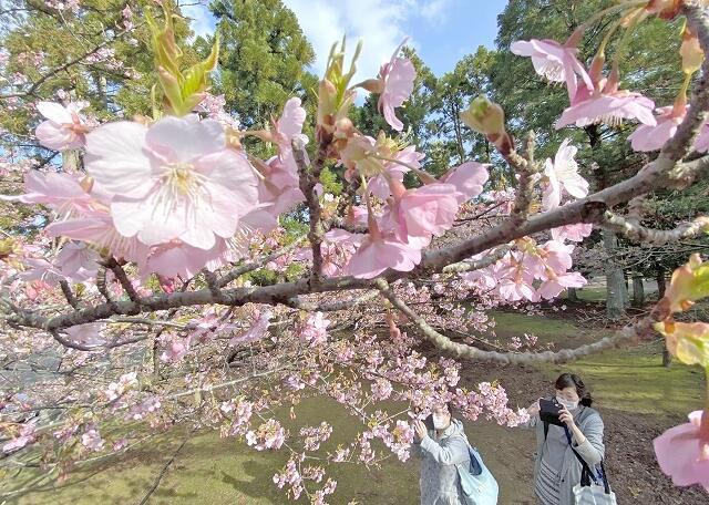見頃を迎えている河津桜=3月17日、福井県坂井市の県総合グリーンセンター