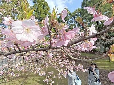 春が来た 早咲きサクラ見頃 福井県坂井市