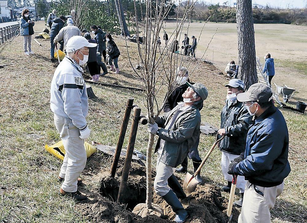 桜の木を植える住民=羽咋市千里浜町の千里浜運動公園