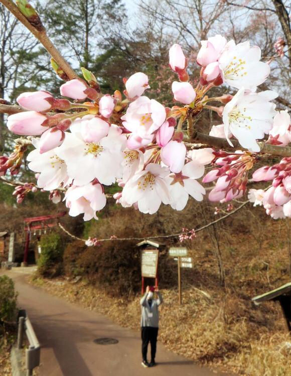 開花宣言された天竜峡のソメイヨシノ=19日午後3時25分、飯田市川路