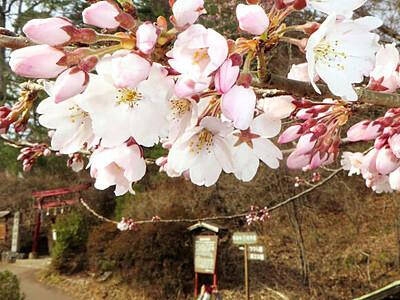 絵解き・飯田市の名勝・天竜峡でソメイヨシノが開花宣言