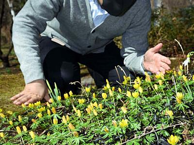 茅野のバラクラ 春の花楽しんで 入園料、月内無料に