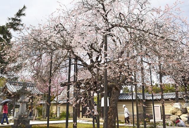 見頃を迎えているしだれ桜の「花筐」=3月20日、福井県越前市五分市町の城福寺