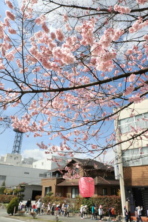 開花宣言が出た大宮通りのソメイヨシノ。日当たりが良い場所では多くの花が開いていた=22日、飯田市