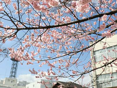 記録的な早さ、ソメイヨシノ咲く 飯田「大宮通り」開花宣言