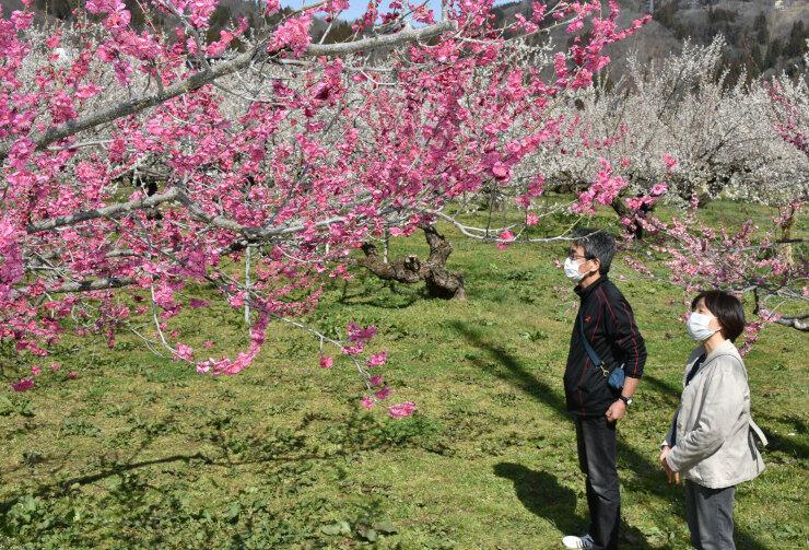 見頃の梅の花を眺めながら散策を楽しむ人たち=23日