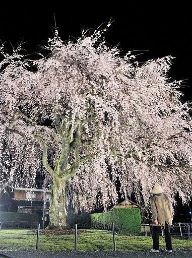 満開を迎えた妙祐寺のしだれ桜=3月22日、福井県小浜市中井