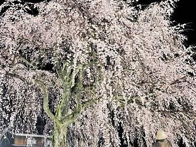 闇に映えるしだれ桜 ライトアップで幻想的 小浜・妙祐寺