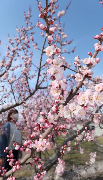 観測史上2番目の早さで開花が確認された千曲市森・倉科地区のアンズ=24日