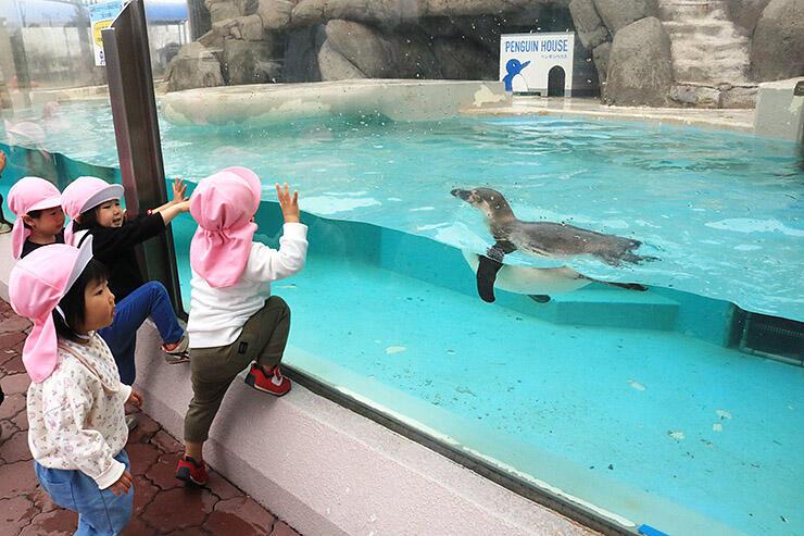 展示が再開され、子どもたちの近くを泳ぐペンギン=魚津水族館