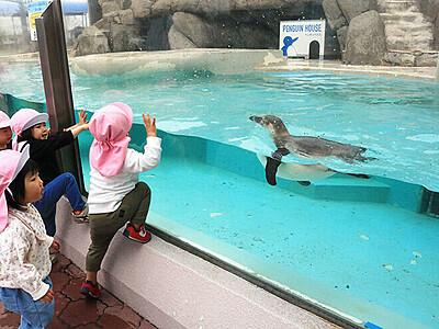 ペンギン元気に泳ぐ 魚津水族館で2カ月ぶり展示再開