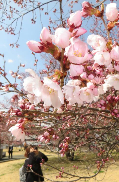 開花が宣言されたタカトオコヒガンザクラ=26日午前11時20分、伊那市高遠町の高遠城址公園