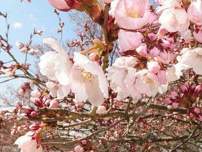 高遠最速、ピンクのほころび 4月1日から2年ぶりさくら祭り