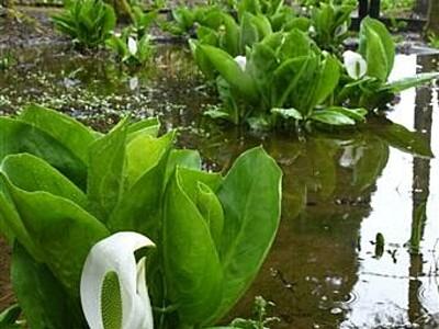 純白の「花」湿地彩る 越前市 ミズバショウ見頃