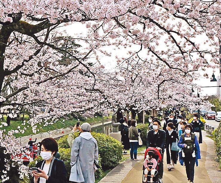 マスク姿で松川べりのソメイヨシノを眺める花見客=富山市新総曲輪
