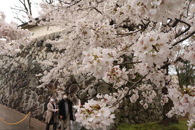風に揺れながら鮮やかに咲く桜=28日午前11時50分ごろ、富山城址公園
