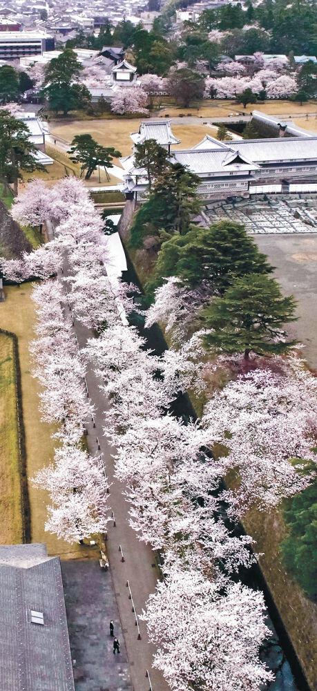 満開となった金沢城公園の桜並木(小型無人機から)