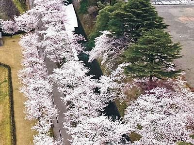 金沢城公園 金沢の桜、最速で満開