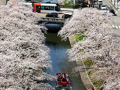 桜のトンネルどこまでも 富山・松川沿い
