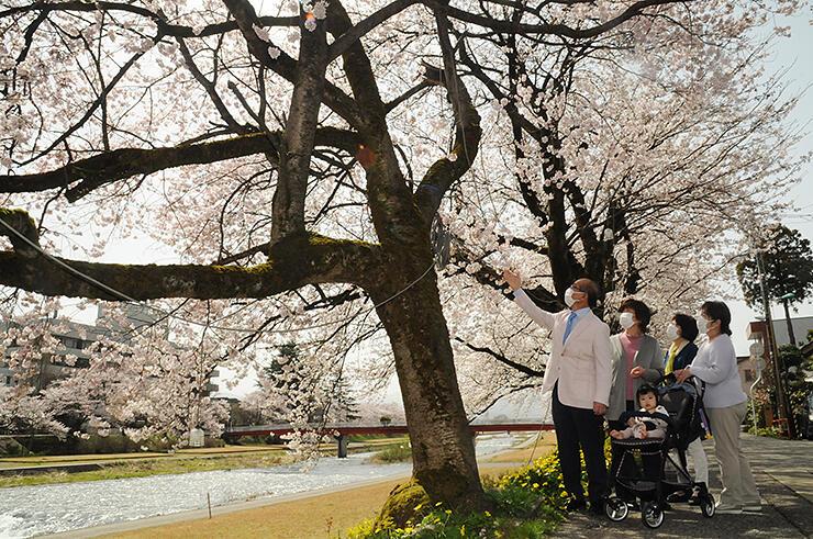 見頃を迎えた桜並木
