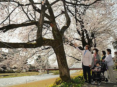 福光の「千本桜」見頃 4月14日までライトアップ