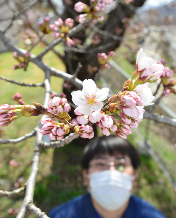 観測史上最も早い開花宣言となった長野地方気象台のソメイヨシノ=29日午後1時32分、長野市箱清水