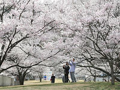 高遠の桜 やっぱりいいね