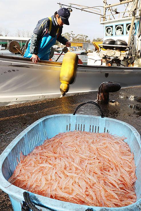 水揚げされた淡いピンク色のシロエビ=1日午前7時40分ごろ、新湊漁港