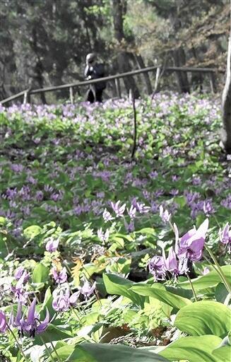 見頃を迎えたカタクリの花=3月31日、福井県大野市矢の「矢ばなの里」